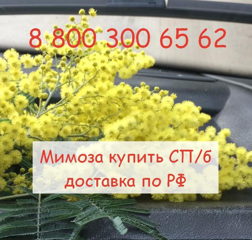 Абхазская мимоза оптом с 2021 - 2029 РФ доставка