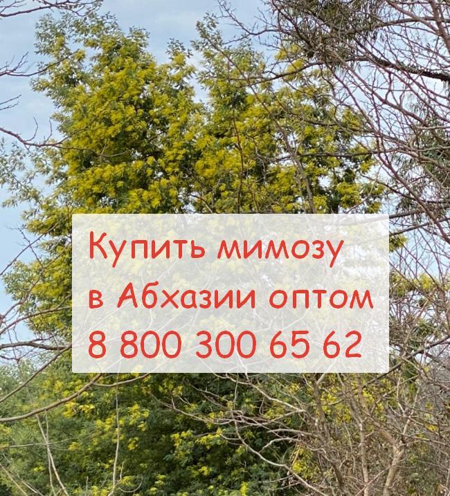 купить мимозу в абхазии оптом 8 800 300 65 62