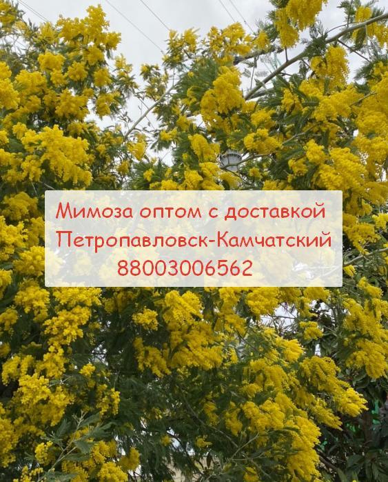 Петропавловск-Камчатский купить мимозу с доставкой