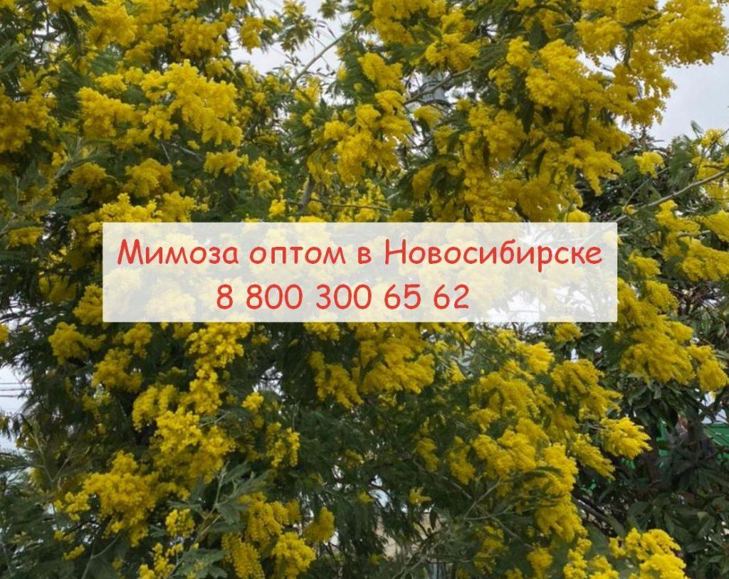 В Новосибирске купить мимозу оптом