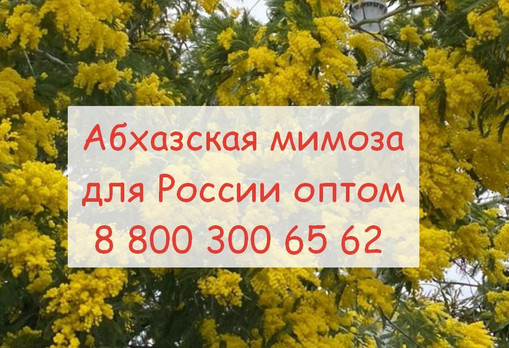 Мимоза оптом в России производство и доставка
